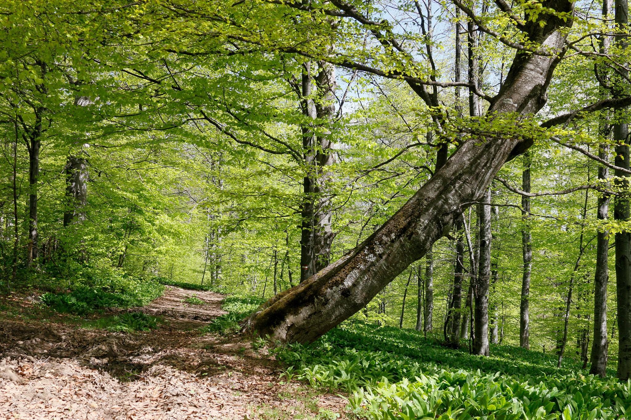 Šuma sremuša na Povlenu